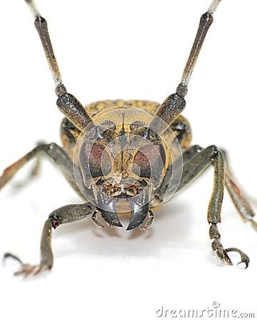Long-horned beetle face