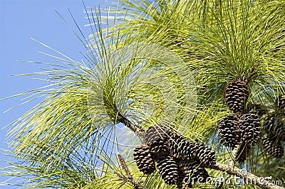 Хвойное дерево с большими иголками - Pine