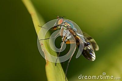 Long-Legged Fly macro side view