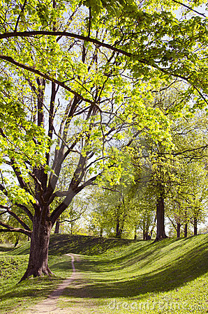 Long lived tree alley in the spring.