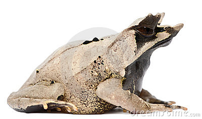 Long-nosed Horned Frog, Megophrys nasuta