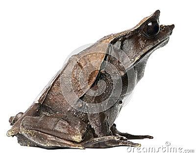 Long-nosed Horned Frog, Megophrys nasuta