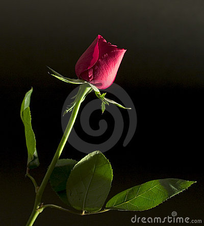 Long-stem red rose