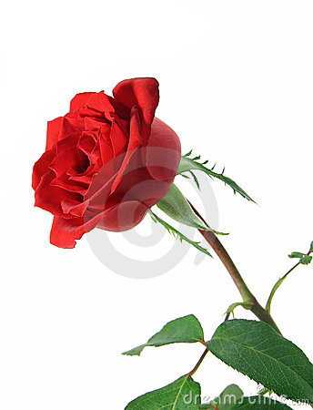 Free Long Stem Rose Royalty Free Stock Images - 1999549