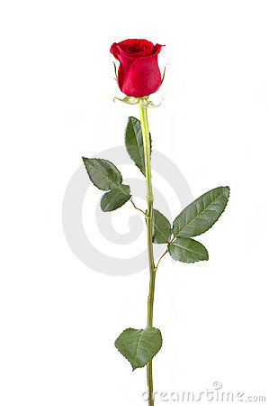 Free Long Stem Rose Stock Photos - 405113