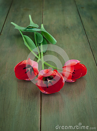 Long Stemmed Red Tulips on Green Wood