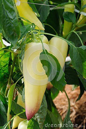 Long sweet pepper