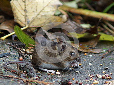 Long Tailed Field Mouse (Wood mouse)