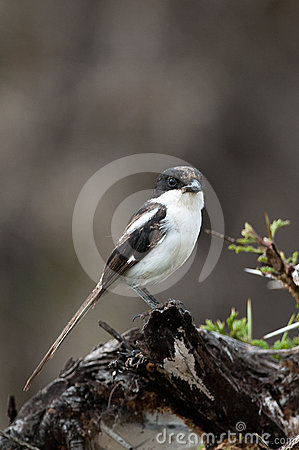 Long Tailed Fiscal Shrike Kenya Africa