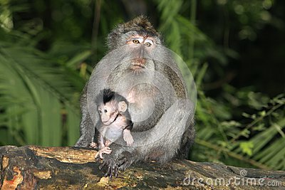 Long Tailed Macaque and Baby