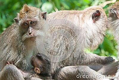 Long-tailed macaques .Ubud Bali
