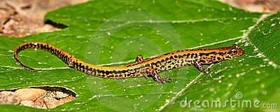 Long-tailed Salamander (Eurycea Longicauda) Stock Photography - Image: 15165092
