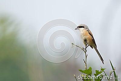 Long Tailed Shrike Bird