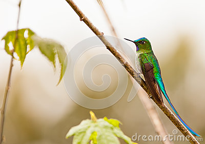 Long-tailed Sylph on twig