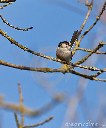 The Long-tailed Tit on a branch
