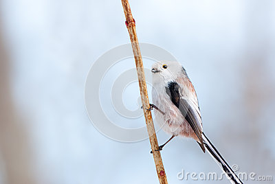 Long-tailed tit portrait