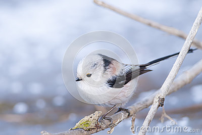 Long Tiled Tit
