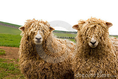 Long wool sheep