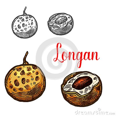 Free Longan Fruit Sketch Of Asian Exotic Tropical Berry Royalty Free Stock Photo - 115621965