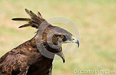 Longcrested eagle profile