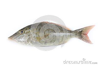 Longface fish