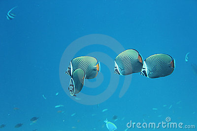 Longfin Bannerfish, Maldives
