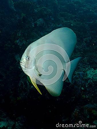 Free Longfin Batfish - Platax Teira Stock Images - 31602544