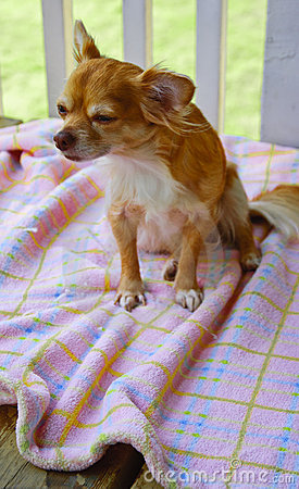 Longhair chihuahua on a blanket