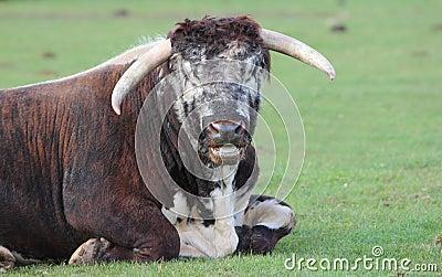 Longhorm bull