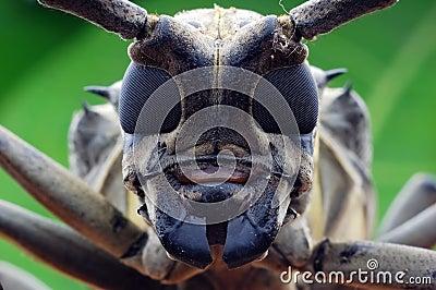Longhorn beetle closeup