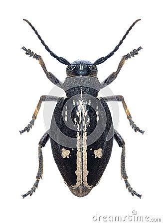 Longhorn beetle Dorcadion equestre (female)