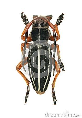 Longhorn beetle Dorcadion glicyrrhizae