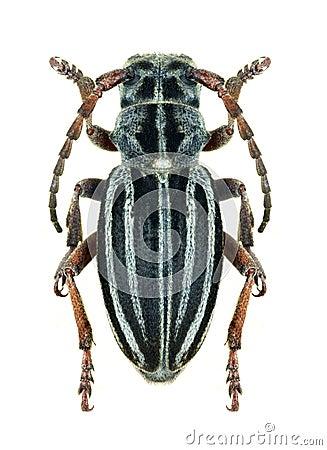 Longhorn beetle Dorcadion granigerum