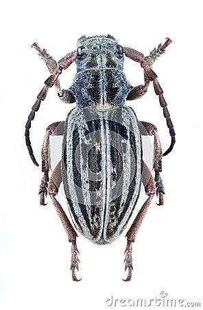 Longhorn beetle Dorcadion nemeense