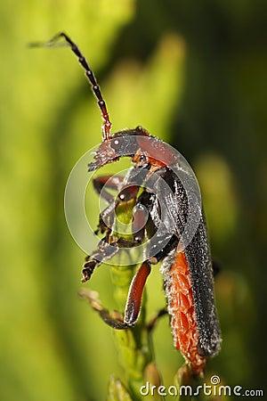 Longhorn beetle - strangalia melanura