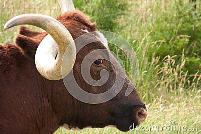 Longhorn glare