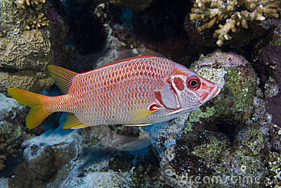 Longjawed squirrelfish