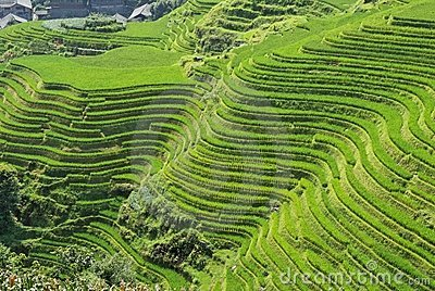 LongJi rice terraces (China) in late summer