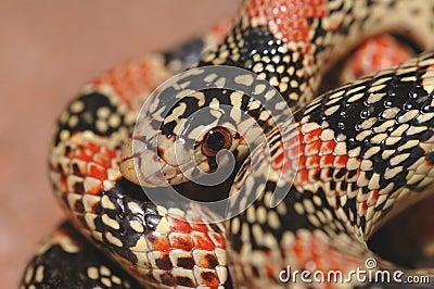 Longnose Snake Macro