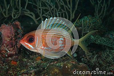 Longspine金鳞鱼