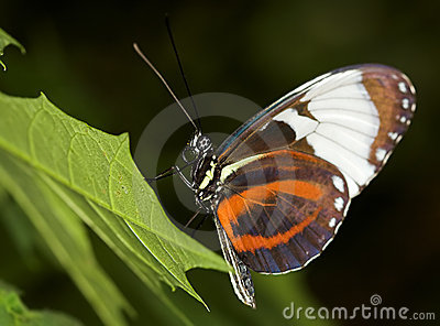 Longwing Butterfly Stock Images - Image: 1534444
