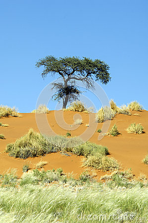 Free Lonley Tree On An Orange Dune In Namibia Royalty Free Stock Photography - 27426097