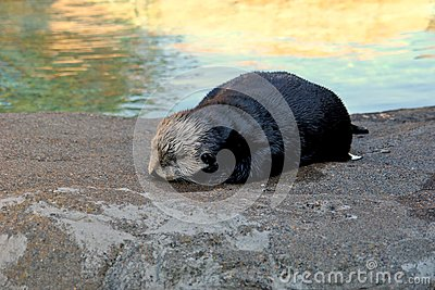 Lontra bagnata