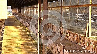 Loodsen - het lange afbaarden Europese mink, Mustela-lutreola, die door het net van zijn kooi kijken De Europese Mink is bevat in stock footage