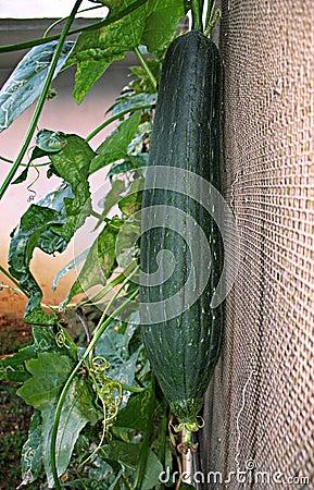 Loofah Plant
