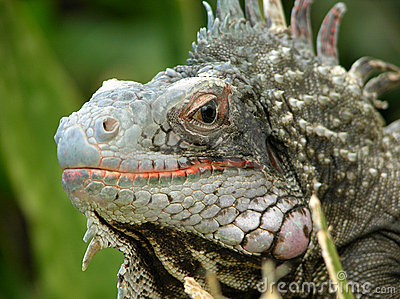 The Look of Iguana