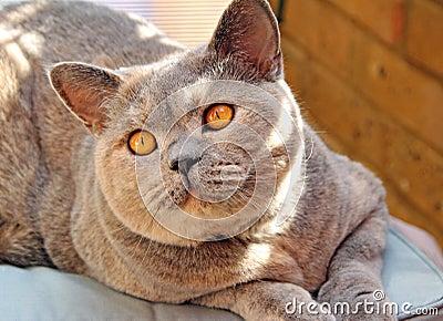 Look of love pedigree cat