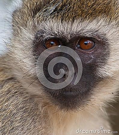 The look of a Vervet Monkey