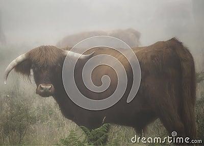 Looking bull