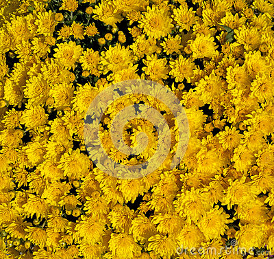 Golden Yellow Mums